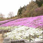 【動画360度撮影有】スパッシュランドしろいしの芝桜「味噌ソフト」って何?GWおすすめ宮城県観光名所
