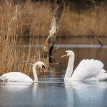 【動画有】たくさんの白鳥が間近で見られる!宮城県刈田郡蔵王町 白石川白鳥飛来地「松ヶ丘河川公園(白鳥公園)」